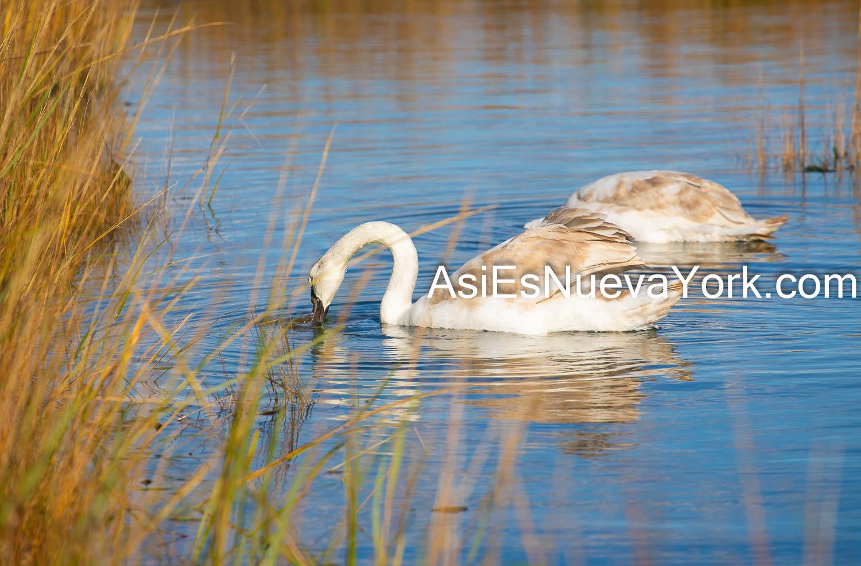 Lunes 16 de Noviembre de 2020. Bronx, Ciudad de Nueva York - Cisnes en el Parque Pelham Bay (Pelham Bay Park). Foto por Javier Soriano/www.JavierSoriano.com