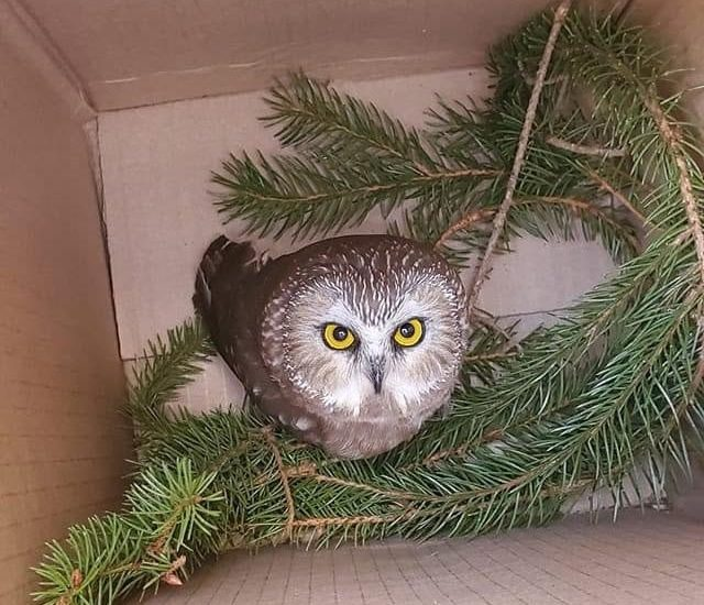 The Sow-whet owl was spotted Monday, November 16, 2020, by Jason Ramos within the Rockefeller Center Christmas Tree, and brought upstate to Ravenbeard Wildlife Center in Saugerties. (Photo courtesy of Ellen Kalish)