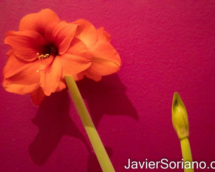 Lirio estrella del caballero (algunas personas le llaman erróneamente amaryllis). Foto por Javier Soriano/www.JavierSoriano.com
