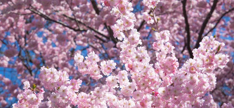 Jueves 8 de abril de 2021. Ciudad de Nueva York - Flores de cerezo en Prospect Park, Brooklyn; ciudad de Nueva York. Foto por Javier Soriano/www.JavierSoriano.com