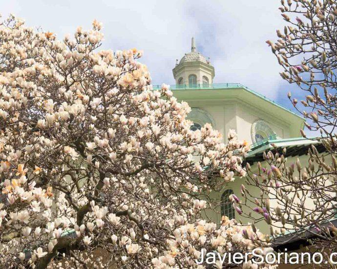 Viernes 2 de abril de 2021. Ciudad de Nueva York - Flores de magnolias en el Jardín Botánico de Brooklyn. Foto por Javier Soriano/www.JavierSoriano.com