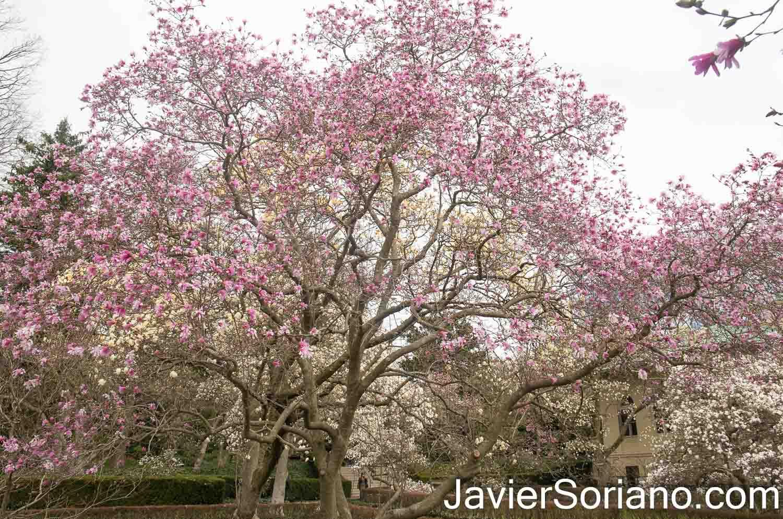 Viernes 2 de abril de 2021. Ciudad de Nueva York - Árboles con flores de magnolias en el Jardín Botánico de Brooklyn. Foto por Javier Soriano/www.JavierSoriano.com