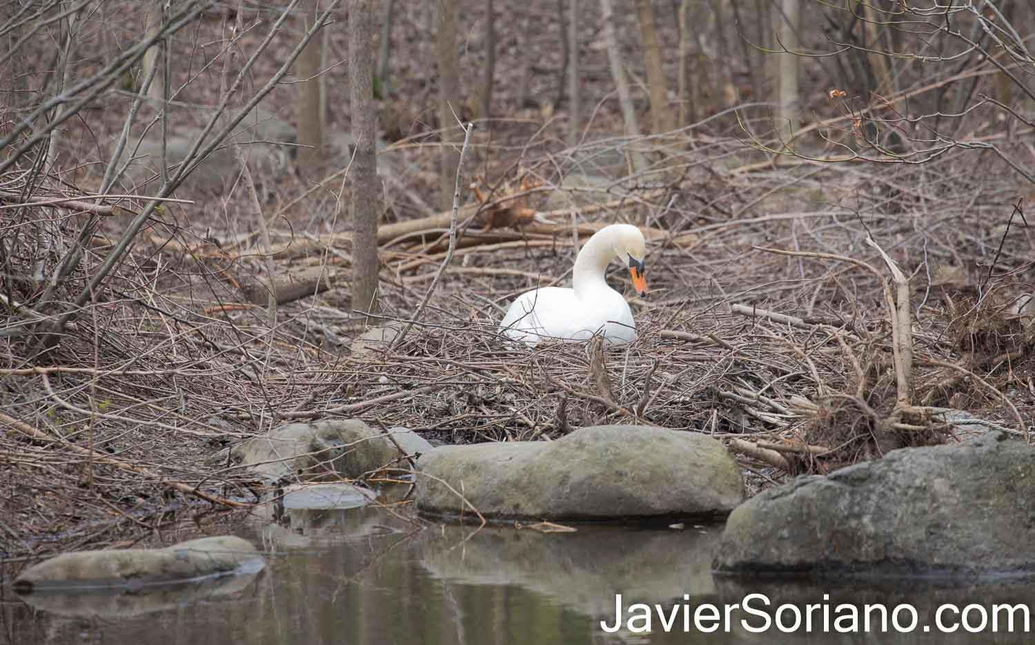 Friday, April 2, 2021. Brooklyn, New York City - Mute swan incubating their eggs in Prospect Park.  Photo by Javier Soriano/JavierSoriano.com