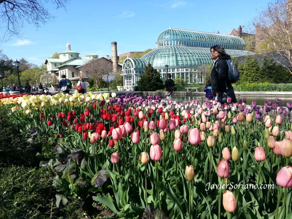 Martes 30 de abril de 2013. Brooklyn, ciudad de Nueva York – Mujer Latina mirando los hermosos tulipanes en el Jardín Bótanico de Brooklyn. Foto por Javier Soriano/www.JavierSoriano.com