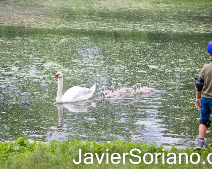 Wednesday, June 2, 2021. Brooklyn, New York City - Mother swan with her 6 babies (cygnets) and a boy watching them. Photo by Javier Soriano/www.JavierSoriano.com